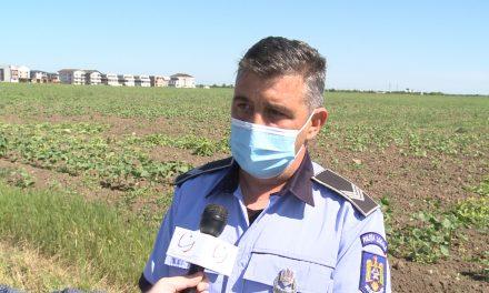 Legea 62/2018: Poliția Locală va informa Prefectura Timiș despre terenurile pline cu buruiana ambrozia
